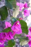 与洋红色花的九重葛分支 库存图片