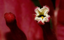 与洋红色苞的九重葛花 库存照片