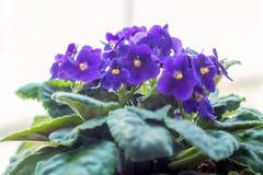 与紫罗兰的花盆 库存图片