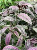 与紫罗兰色叶子的美丽的Perilepta 免版税库存照片