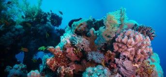 与紫罗兰色坚硬珊瑚poccillopora的珊瑚礁在热带海底部  库存图片