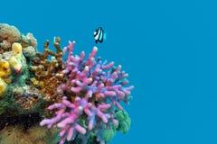 与紫罗兰色敞篷珊瑚末端异乎寻常的鱼的珊瑚礁在热带海底部 在大海背景 免版税库存照片