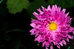 与紫罗兰色桃红色瓣和一个黄色核心的一朵花 项目符号 宏指令 免版税库存图片