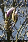 与紫罗兰色芽的木兰树在开花,捷克,欧洲 免版税库存照片