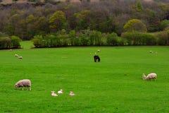 与绵羊和小马,布雷肯比肯斯山国家公园,威尔士,英国的绿色农村领域 库存图片