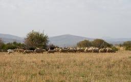 与绵羊和山羊的秋季风景 库存照片