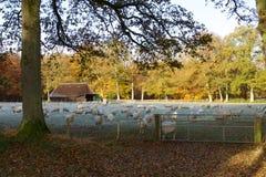 与绵羊牧群的秋天风景 免版税库存照片