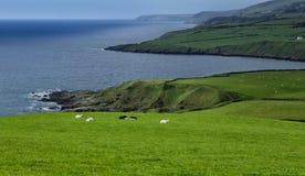 与绵羊的海岸 图库摄影