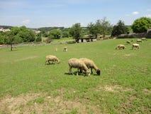 与绵羊的风景 免版税库存图片
