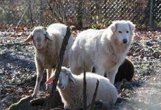 与绵羊的maremma护羊狗 图库摄影