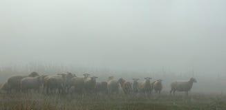 与绵羊群的早期的有薄雾的早晨  库存照片