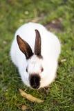 与黑耳朵的白色兔子 图库摄影