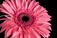 与黑背景和水滴的桃红色大丁草flowerhead 免版税库存照片