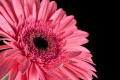 与黑背景和水滴的桃红色大丁草flowerhead 免版税图库摄影