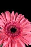 与黑背景和水滴的桃红色大丁草flowerhead 库存图片