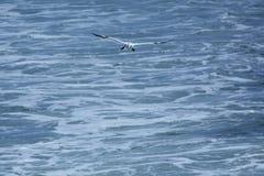 与黑脚的北gannet滑动在特拉华河 库存图片