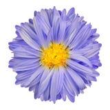 与黄色中心孤立的紫色翠菊花在白色 库存图片