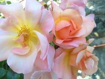 与黄色中心的桃红色玫瑰 免版税库存照片