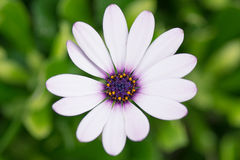 与紫色中心的白色瓣雏菊 免版税库存照片