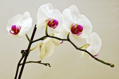 与紫色中心的白花 免版税库存照片