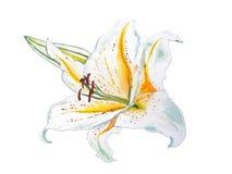 与黄色中间部分和芽的白百合手拉在水彩 免版税库存照片