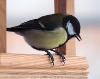 与黄色全身羽毛的山雀坐在木饲养者和keepin 免版税库存图片
