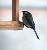 与绿色全身羽毛的山雀坐在饲养者 库存照片