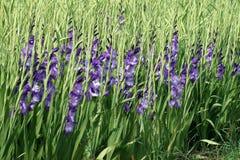 与紫色剑兰花的领域 免版税库存图片