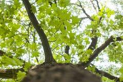 与绿色叶子和太阳光的树 与绿色叶子和星期日光的结构树 免版税库存照片