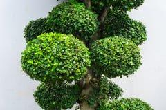 与绿色叶子和白色墙壁的盆景树当在雅加达拍的背景照片印度尼西亚 库存图片