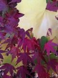 与黄色叶子和Acer掌状树枝的Acer树Brach与在秋天的五颜六色的叶子 免版税库存照片