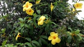 与绿色叶子对比的黄色花 库存照片