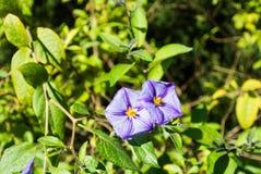与绿色叶子特写镜头的背景和蓝色土豆两朵紫罗兰色花丛生Lycianthes rantonnetii 免版税图库摄影