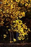 与黄色叶子的一个结构树 免版税图库摄影