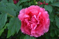 与绿色叶子的一朵桃红色牡丹花 免版税图库摄影