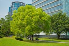 与绿色叶子的一棵大树 库存照片
