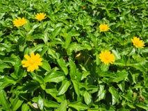 与绿色叶子的一点黄色花 免版税库存照片