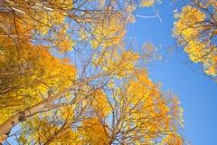 与黄色叶子的亚斯本树 库存照片