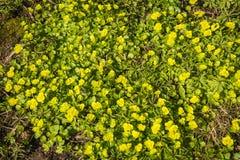 与绿色叶子的出现的黄色花自然地毯  免版税库存图片