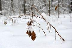 与黄色叶子的分支在雪冬天下 库存照片