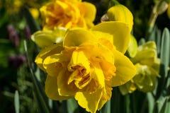 与绿色叶子的双重黄水仙 免版税图库摄影