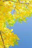 与黄色叶子的垂直的秋天背景在蓝天 图库摄影