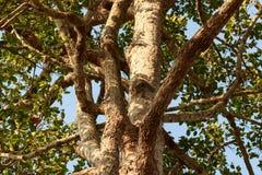 与绿色叶子的大橡胶树 免版税图库摄影