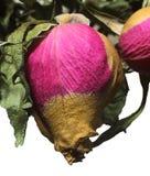与绿色叶子的干闭合的棕色和桃红色玫瑰反对白色背景 库存图片