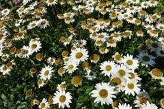 与绿色叶子的开花的开花的白花背景 免版税图库摄影