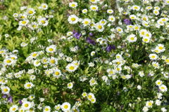 与绿色叶子的开花的开花的白花背景 免版税库存照片