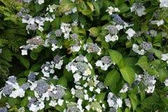 与绿色叶子的开花的开花的白花背景 库存图片
