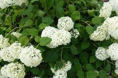 与绿色叶子的开花的开花的白花背景 免版税库存图片