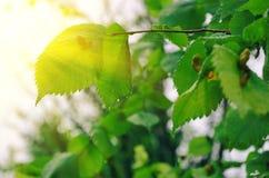 与绿色叶子的抽象夏天光 免版税库存照片
