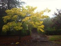 与黄色叶子的树在雾 库存图片